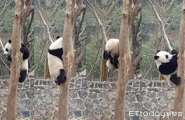 四川熊猫乐园。(图/记者黄琬茹摄)